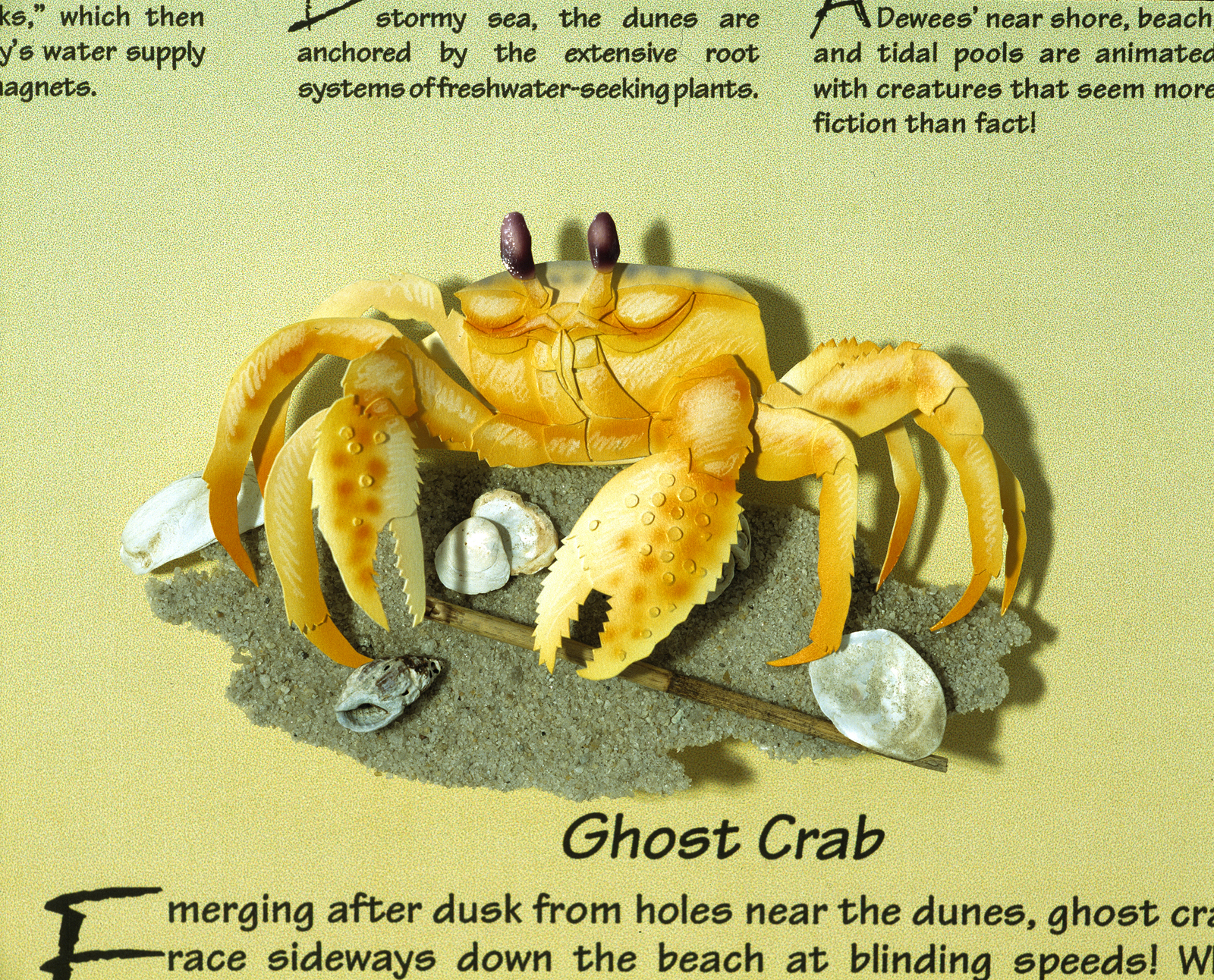Dewees Ghost Crab